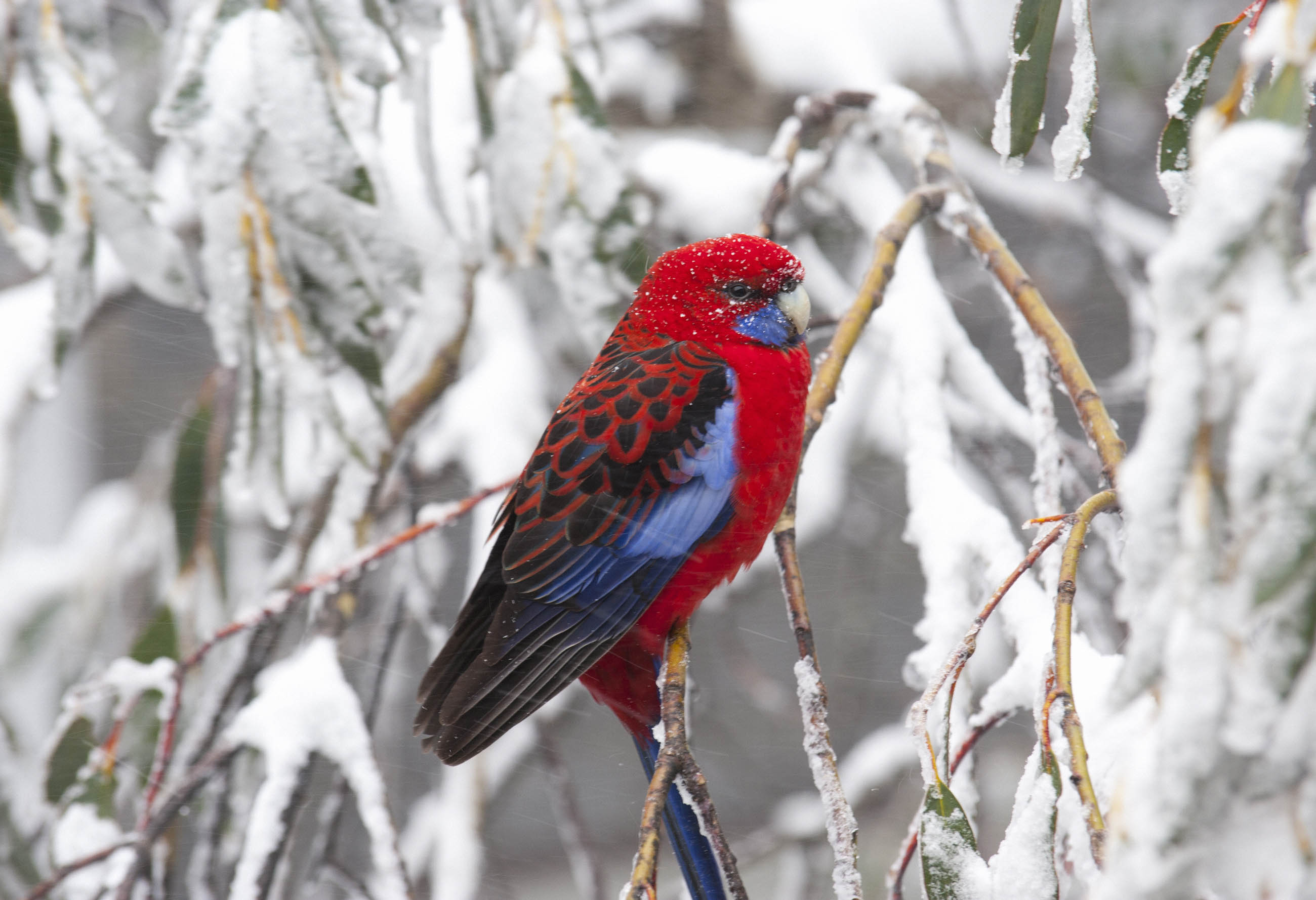 Rosella in a Blizzard