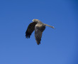 Flying Australian Kite ( Bird)