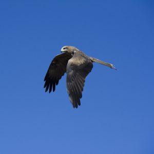Flying Australian Kite ( Bird)