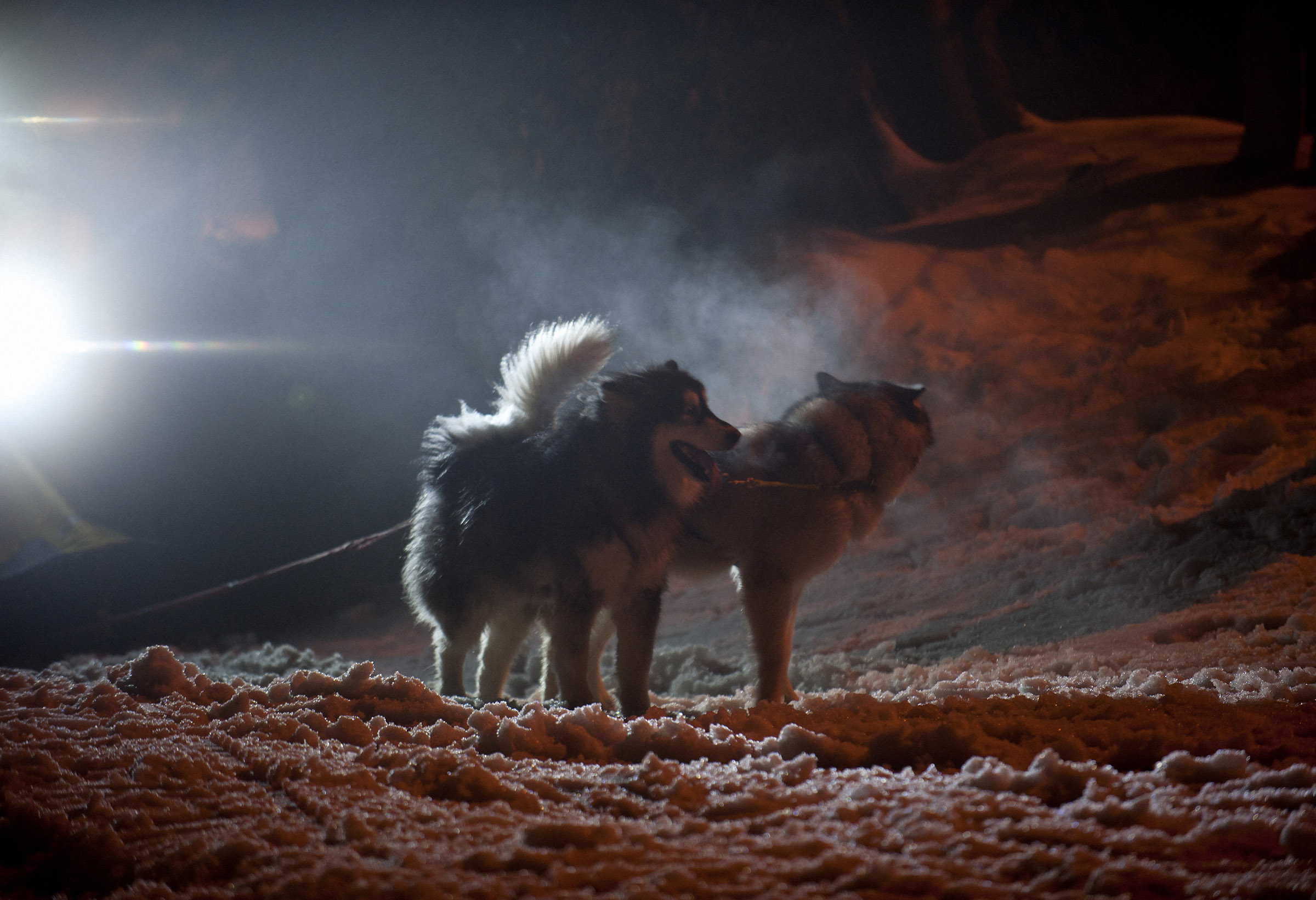 Dogs in the snow at night.