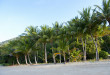 Ellis Beach, tropical palms tress.