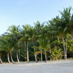 Ellis Beach, tropical palms tress.